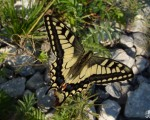 Махаон – Papilio machaon Linnaeus, 1758